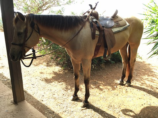 Kralendijk, Bonaire: The horses are of varying sizes and saddles, and different breeds. You will meet your horse