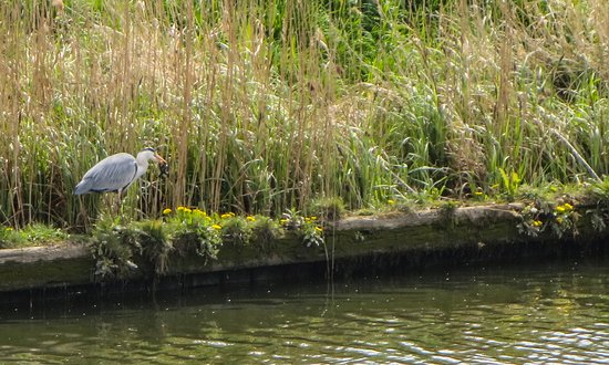 Stalham, UK: Heron on the river bank