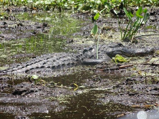 Lake Panasoffkee, FL: Another gator.