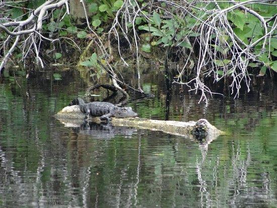 Lake Panasoffkee, FL: A baby gator soaking up the sun on a branch.