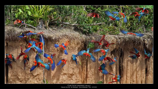 Chuncho Macaw Clay Lick : macaws leaving the wall of clay