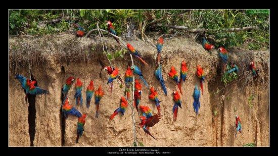 Chuncho Macaw Clay Lick : macaws eating clay