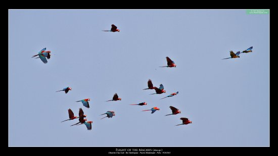 Chuncho Macaw Clay Lick : macaws arriving to the clay lick