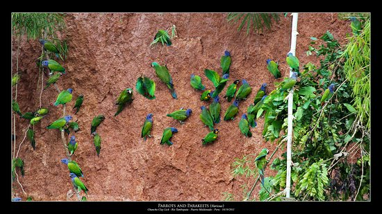 Chuncho Macaw Clay Lick : parrots eating clay