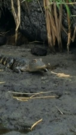 Cocoa, FL: Baby gator tucked back in the muddy bank