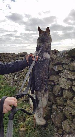 Cartmel, UK: Trying to eat sheep