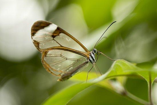 Leidschendam, Belanda: Durchsichtiger Schmetterling
