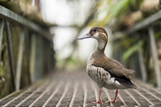 Leidschendam, Belanda: Ente auf Aussichtsplattform