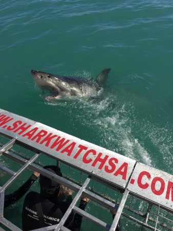Kleinbaai, Sør-Afrika: Great White Shark
