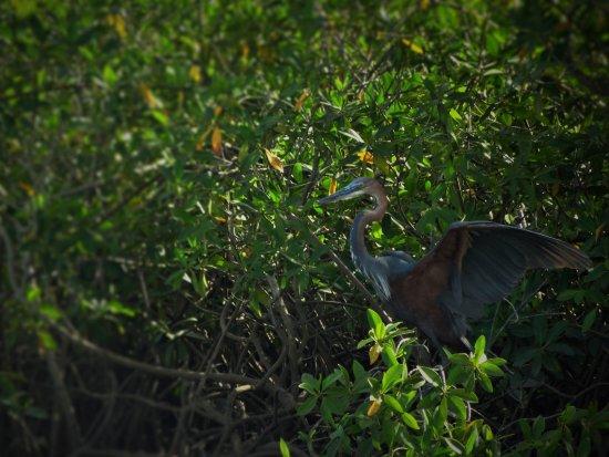 Gunjur, Gambia: Goliath Heron