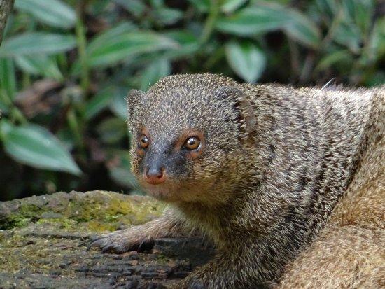 Parc des Mamelles, le Zoo de Guadeloupe: Mangouste