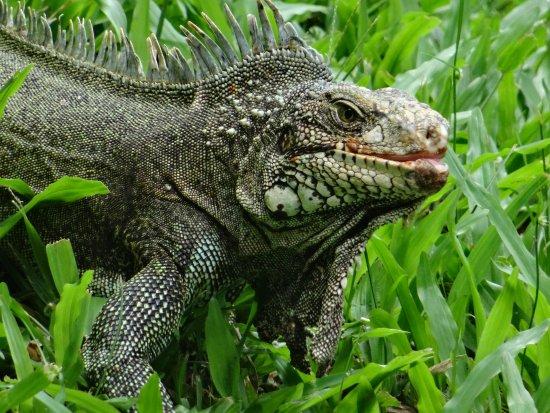 Parc des Mamelles, le Zoo de Guadeloupe: Iguane