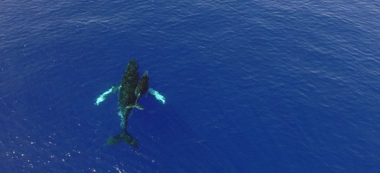 Moorea is one of the best places in the world to swim with humpback whales. Join our specialists