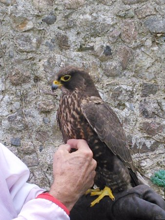 Bushypark, Irland: Falconry in the walled garden