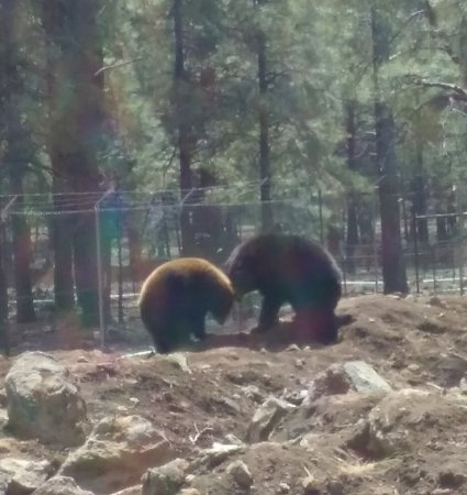 Williams, AZ: Bear cubs playing
