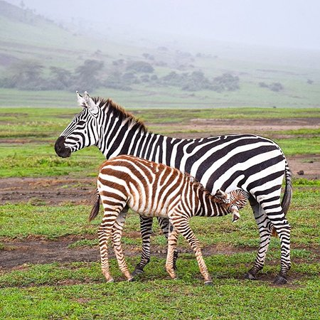 The Insight Tanzania Safaris: The beauty Zebra at Ngorongoro.