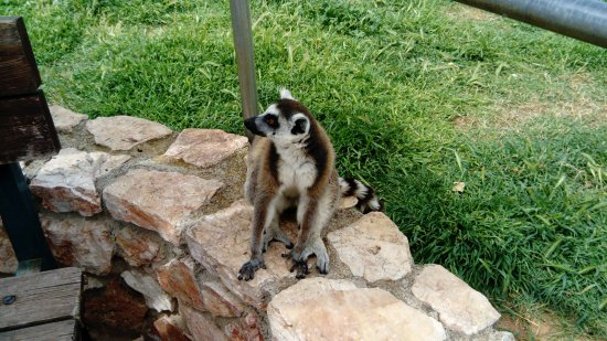 "Spata, Hellas: One of the ""petit"" guests! The Lemurs."