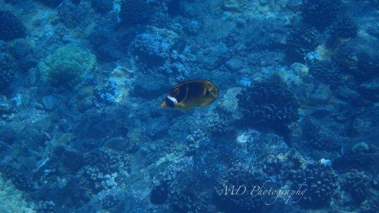 Maalaea, Hawái: raccoon butterflyfish