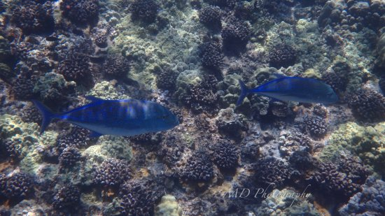 Maalaea, HI: Blue-fin Trevally