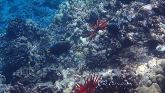 Maalaea, Hawái: Orangespine Unicornfish
