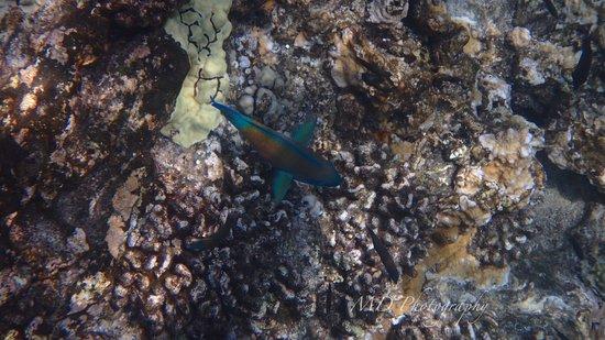 Maalaea, HI: parrotfish