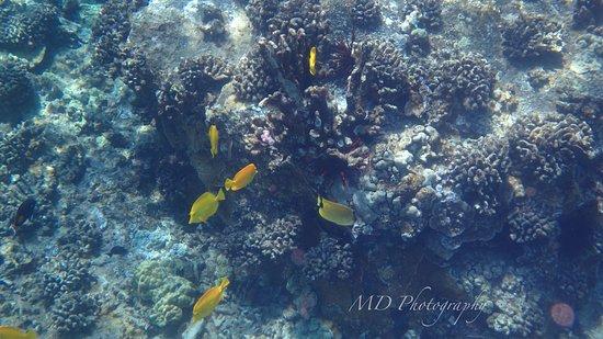 Maalaea, Hawái: yellow tang