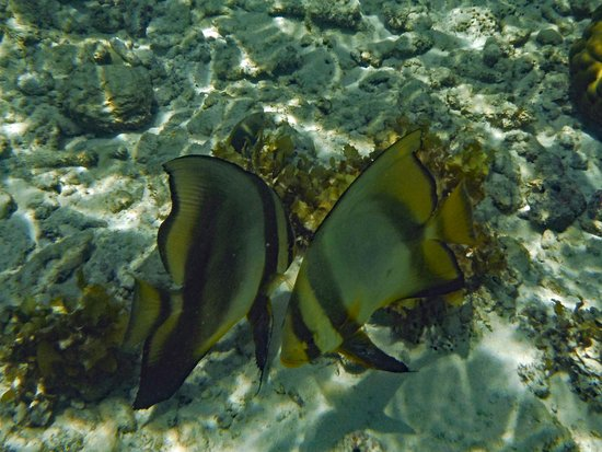 Anse Forbans, Seychelles: Dusky batfish