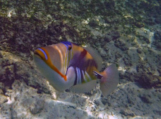 Anse Forbans, Seychelles: Picasso triggerfish
