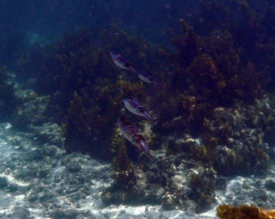 Anse Forbans, Seychelles: Squid