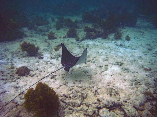 Chalets d'Anse Forbans: Eagle Ray