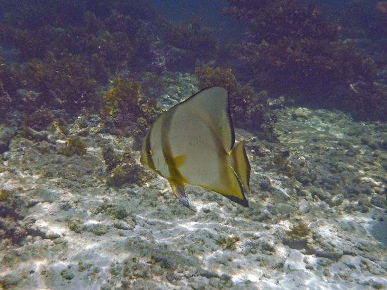 Chalets d'Anse Forbans: White batfish