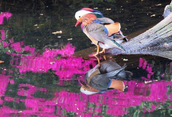 Richmond-upon-Thames, UK: Mandarin duck