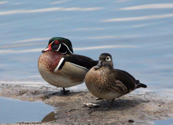 Zephyrhills, Floryda: Wood Duck pair on pond