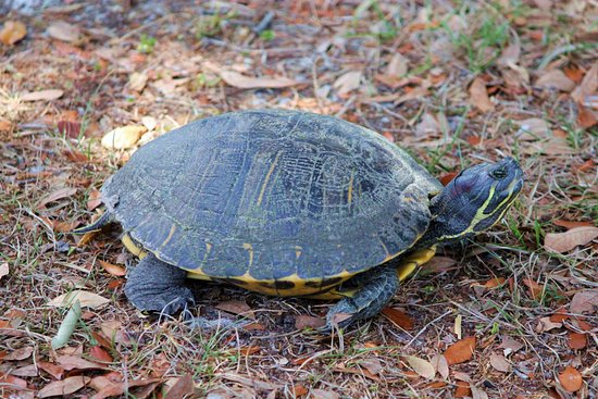 Zephyrhills, Флорида: Turtle walking around pond with me