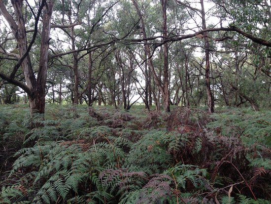 French Island, Australia: Low land eucalyptus and ferns