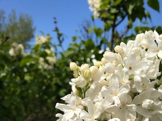 Woodland, Waszyngton: Mme Lemoine Lilac