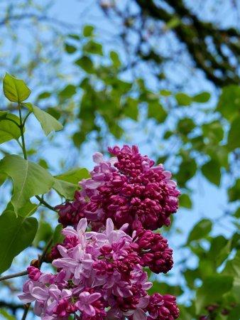 "Woodland, Waszyngton: ""My favorite"" ( Hulda's ) lilac"