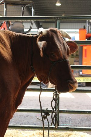 Green Cove Springs, Floryda: Cow in cow barn.