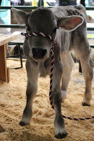Green Cove Springs, FL: Baby calf named Echo.