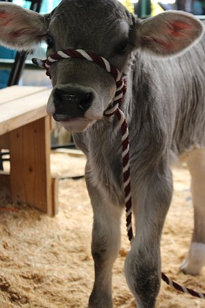 Green Cove Springs, FL: Echo the baby calf.