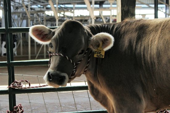 Green Cove Springs, FL: Cow in the cow barn 2017