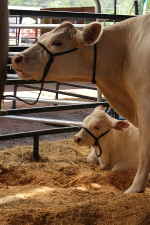 Green Cove Springs, FL: Cows in cow barn.