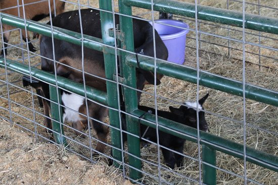 Green Cove Springs, Флорида: baby goats 2017.