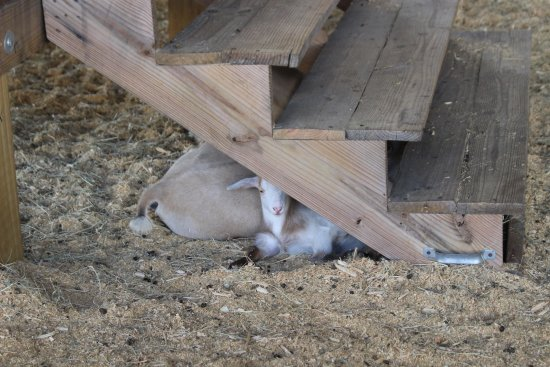 Green Cove Springs, FL: goats under the stairs.