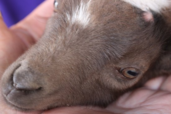 Green Cove Springs, Флорида: baby goat