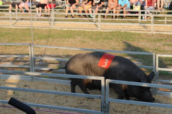 Green Cove Springs, FL: Pig races