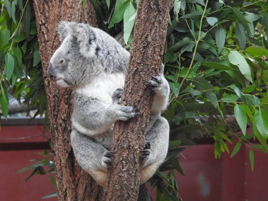 Australia Zoo: Cute Koala