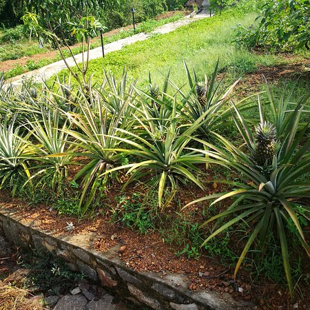 Ratnapura, Sri Lanka: The Organic Farm of Lake Serenity Boutique Hotel, which provides all vegetable needs of the hote