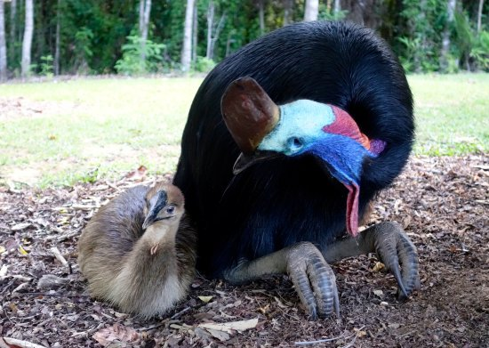 Diwan, Australia: Cassowary and chick.