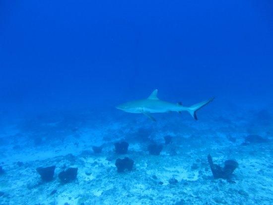 Ambatoloaka, Madagaskar: requin gris de recif